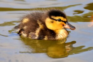 A fluffy duckling floating in water
